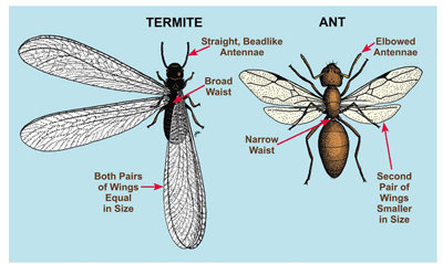 ants with wings, termites swarmers or ant wings