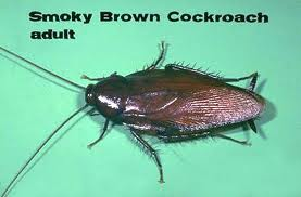 Water bug, cockroach, smokey brown cockroach