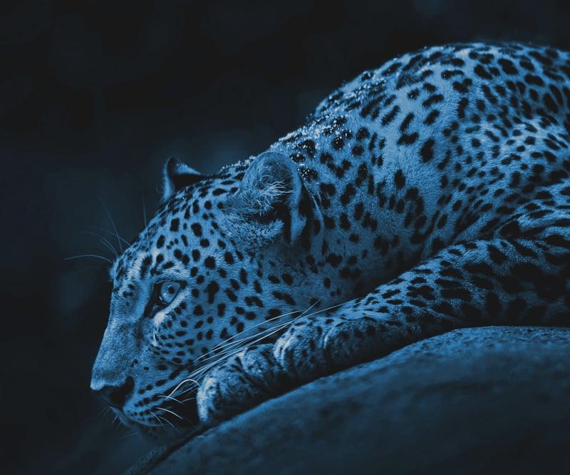 Leopard cyan-mobile