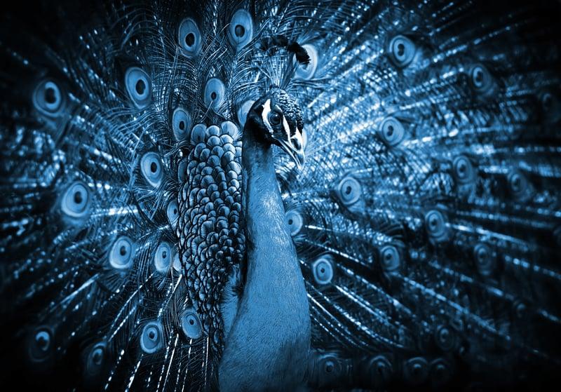 Peacock enagage audience