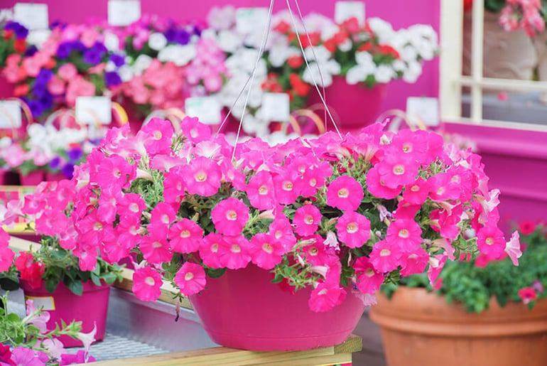 bigstock-Petunia-petunias-In-The-Tray--364572598