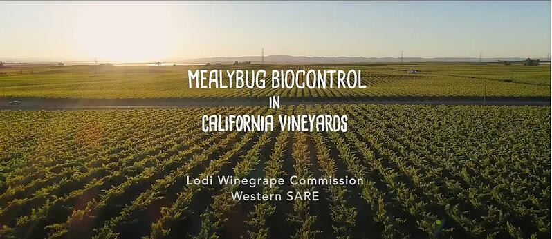 Vine Mealybug Biocontrol in California Vineyards