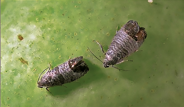 Macro photograph of an adult codling moth facing left.