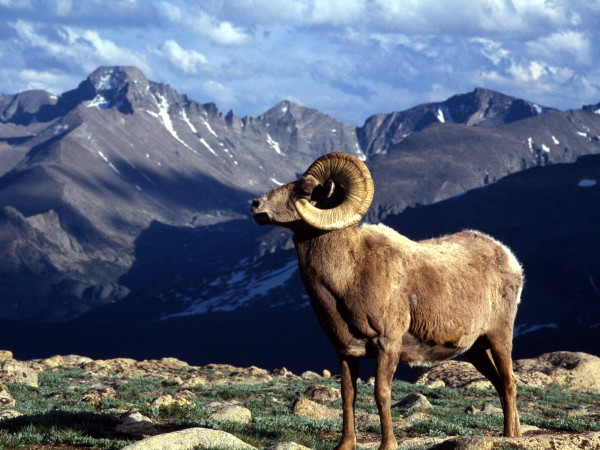 big-horn-ram-rocky-mountain-national-park-colorado-resized-600.jpg