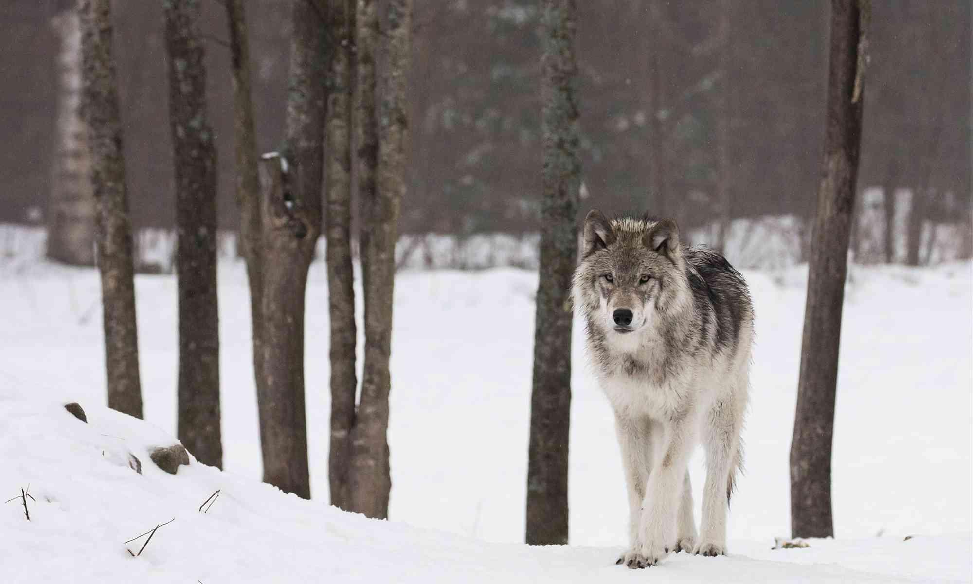 gray_wolf_catherine-smith_header
