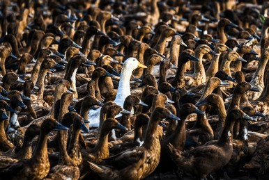 white-duck-odd-one-out-260nw-307138436-1
