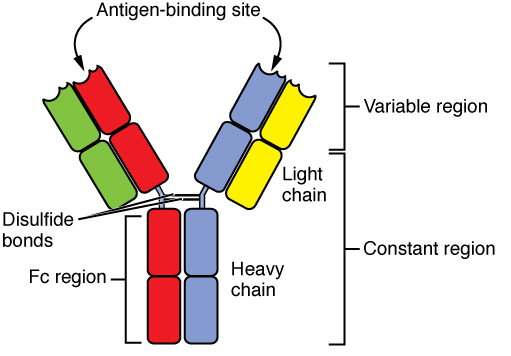 Antibody Structure IgG