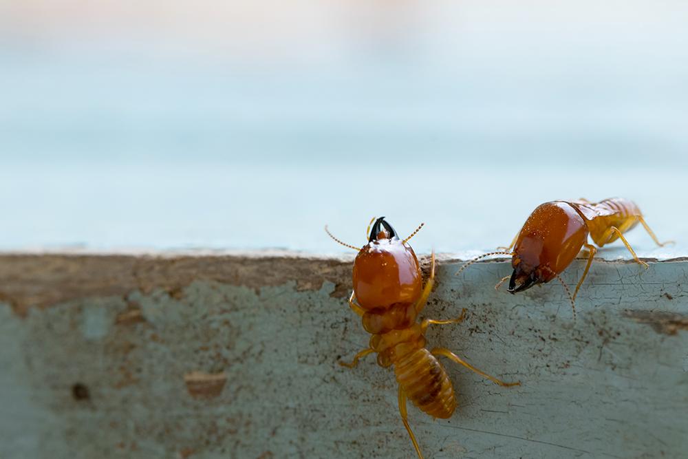 zoom sur des termites sur une surface en bois